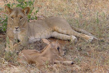 Львица удочерила детёныша антилопы