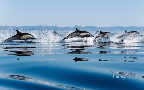 Common Dolphins in the Gulf of California, Mexico