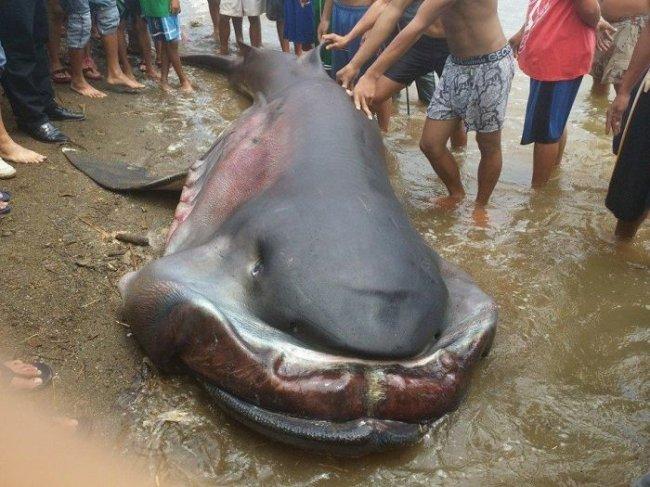 Акула-монстр поймана на Филиппинах.