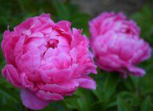 Пион - императорский цветок.