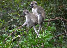 Эти обезьянки ещё не подозревают о том, что назревает обезьянья трагедия...