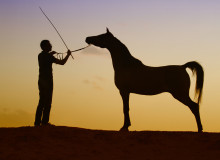 Arabian_horses