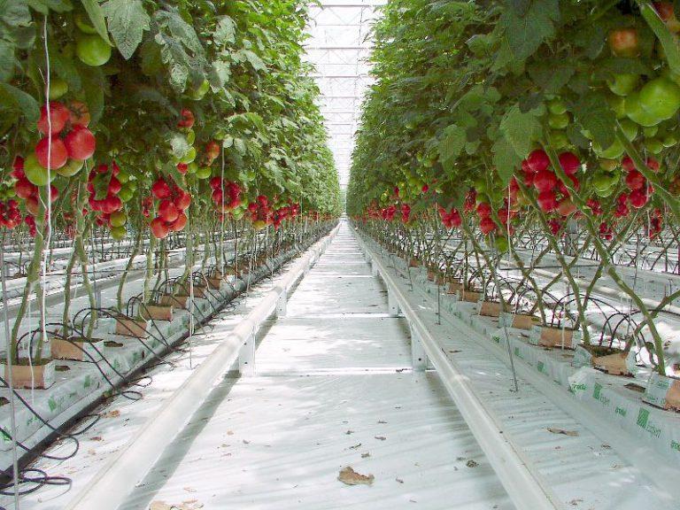 Выращивание томатов черри в теплицах 154