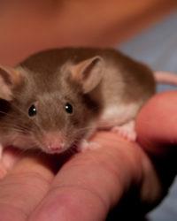 decorative mouse