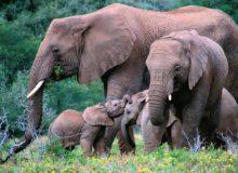 кого боится слон elephant